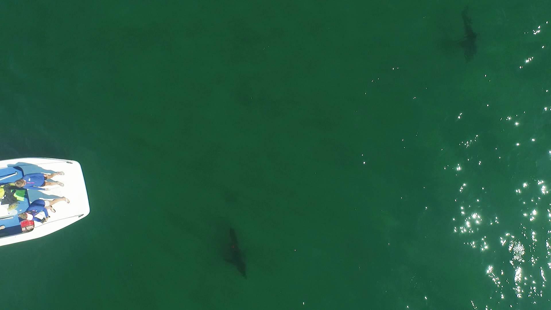 Pelagic Great White Sharks SoCal CSULB 4