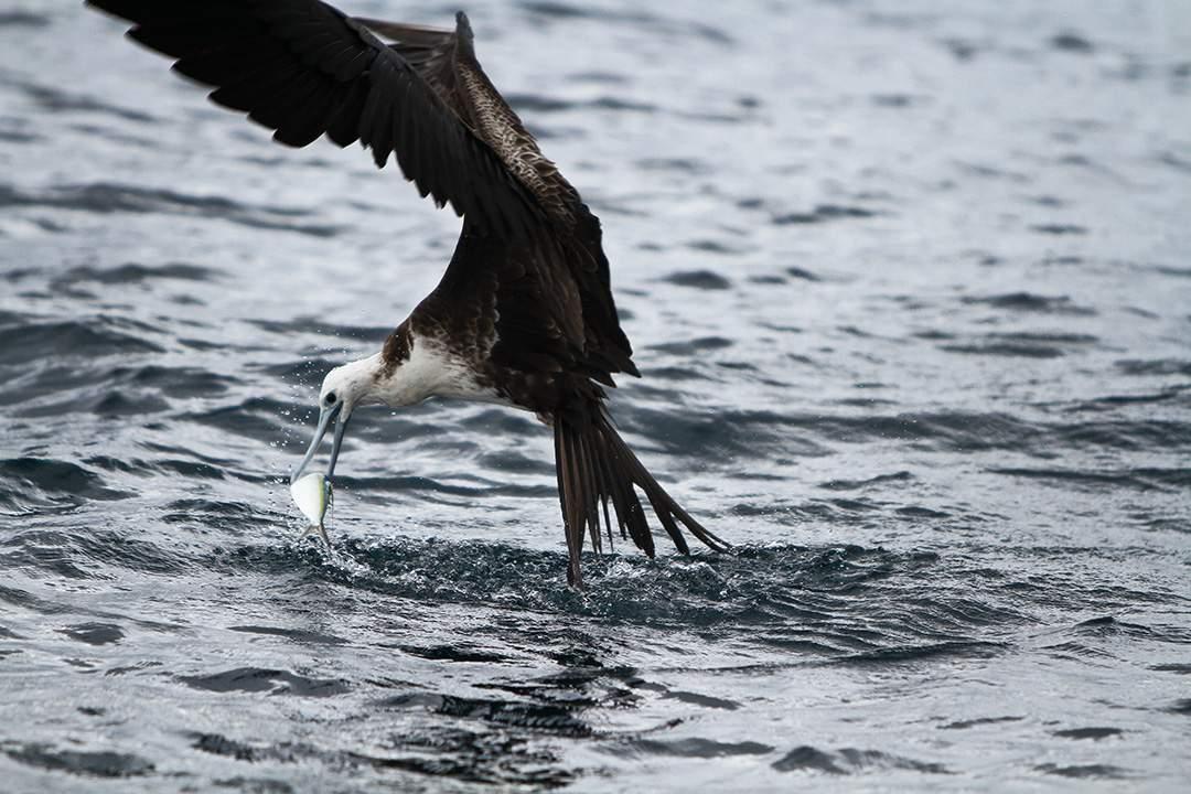 feeding frigate