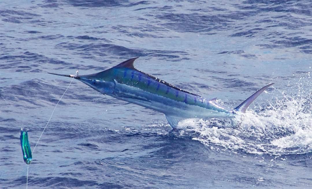 Blue Marlin_PELAGIC GEAR