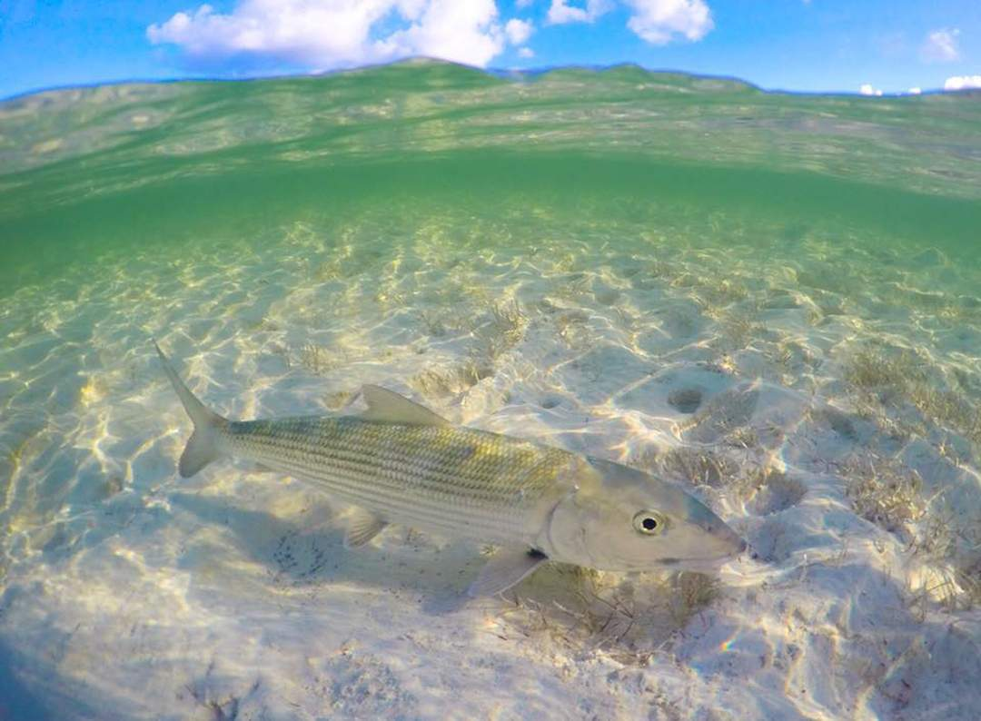 Bonefish_Bahamas_PELAGIC