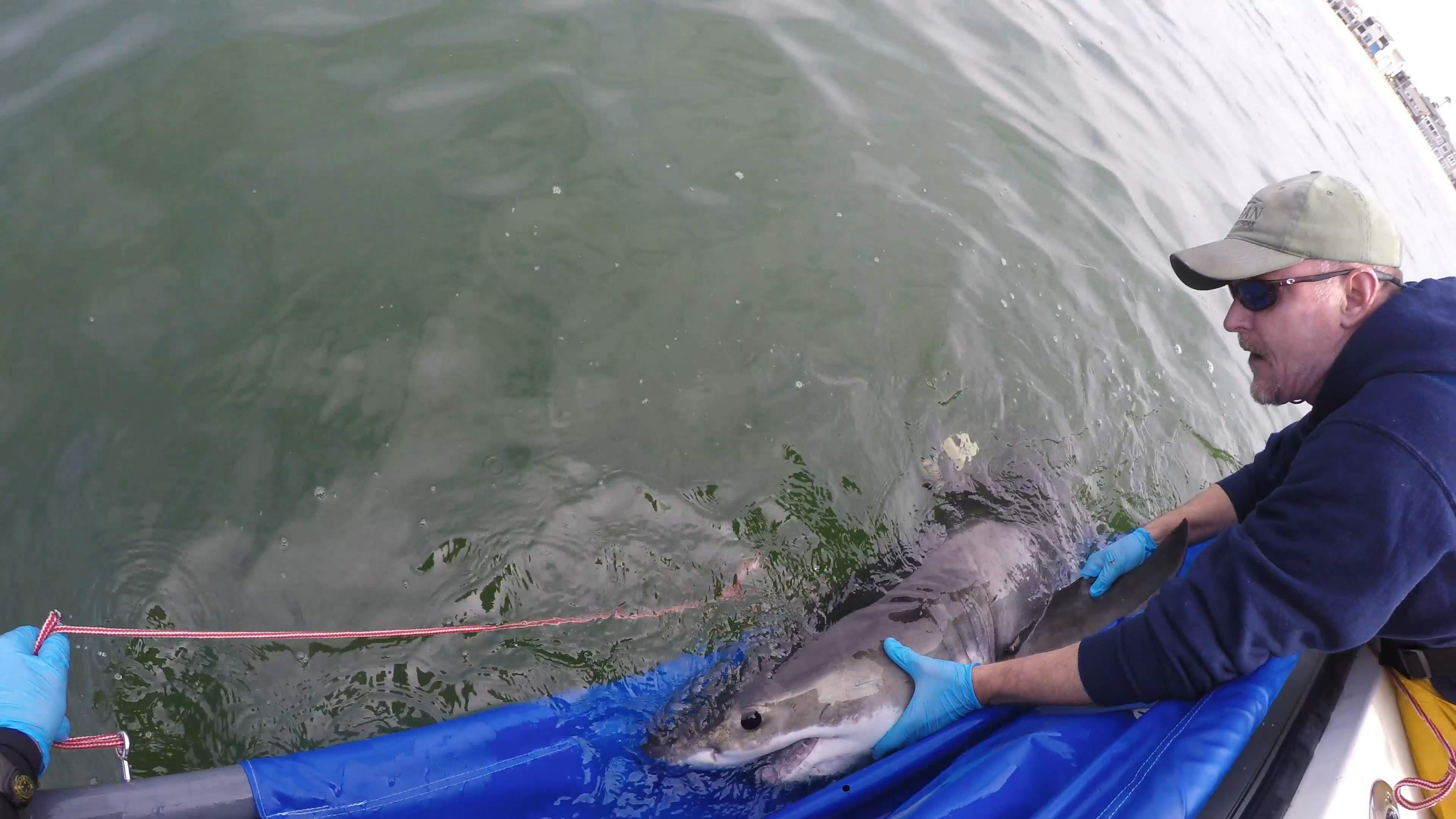 Pelagic Great White Sharks SoCal CSULB 3