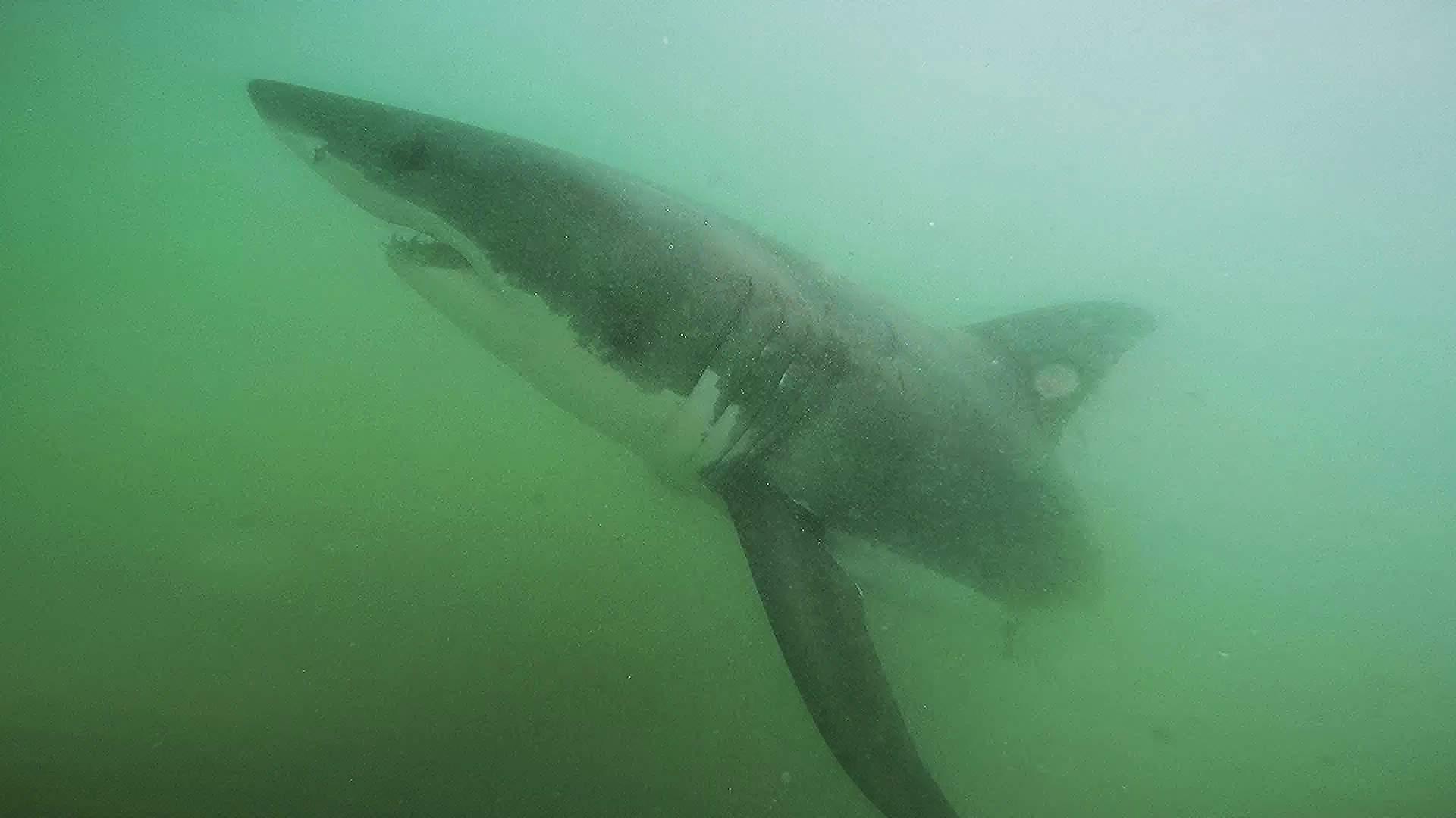 Pelagic Great White Sharks SoCal CSULB 2
