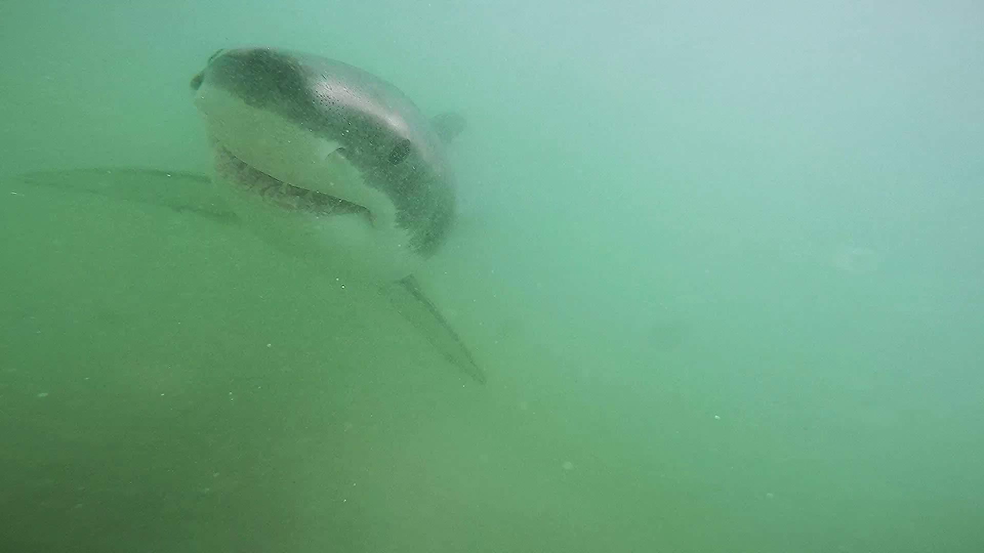 Pelagic Great White Sharks SoCal CSULB 5