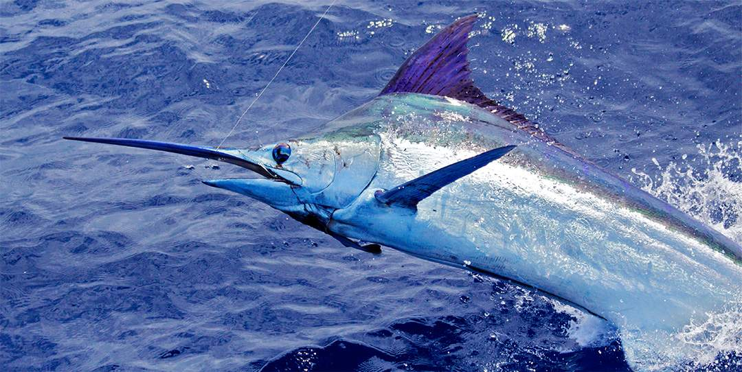 Marlin Header pic