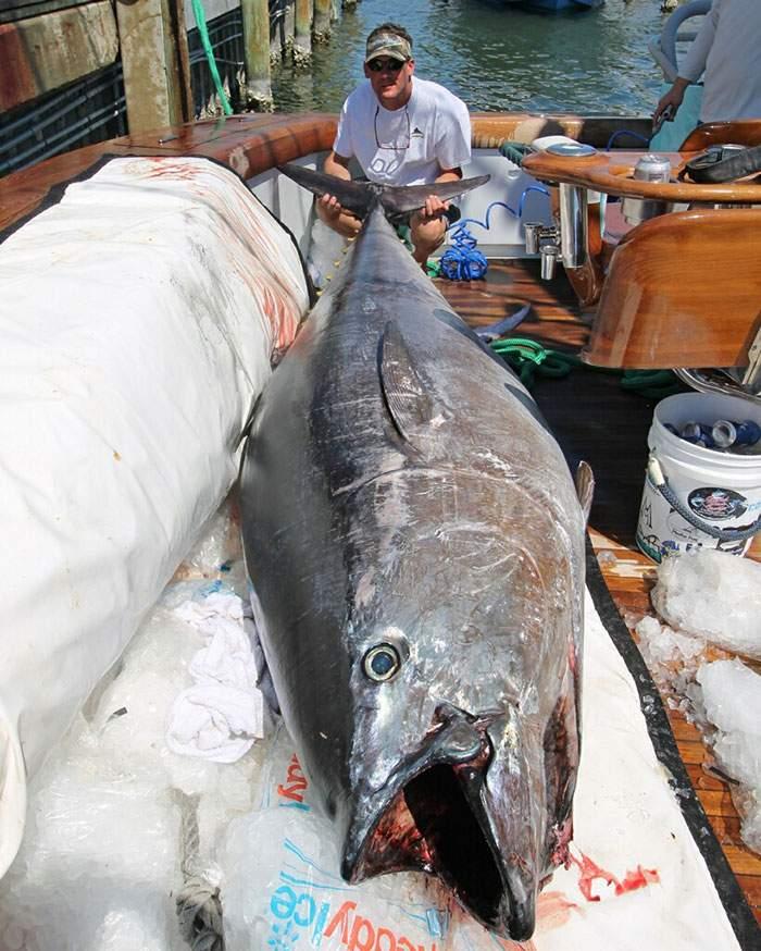 Record Bluefin Tuna 827 Caught Pelagic Joey Birbeck 4
