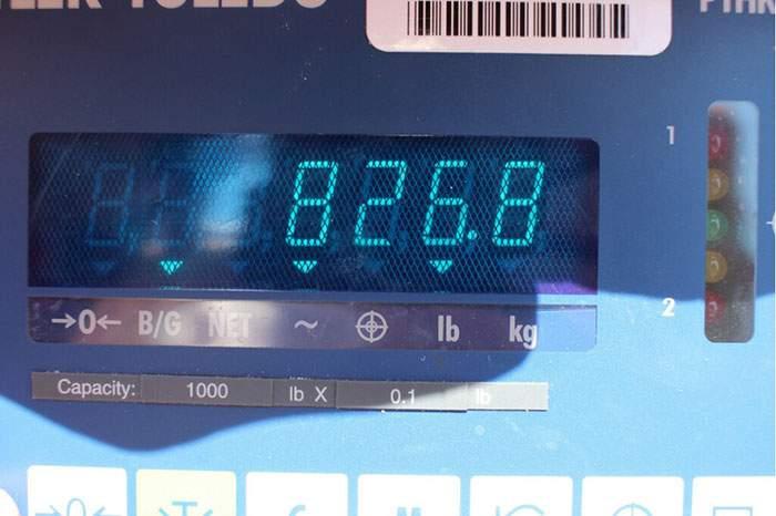 Record Bluefin Tuna 827 Caught Pelagic Joey Birbeck 3