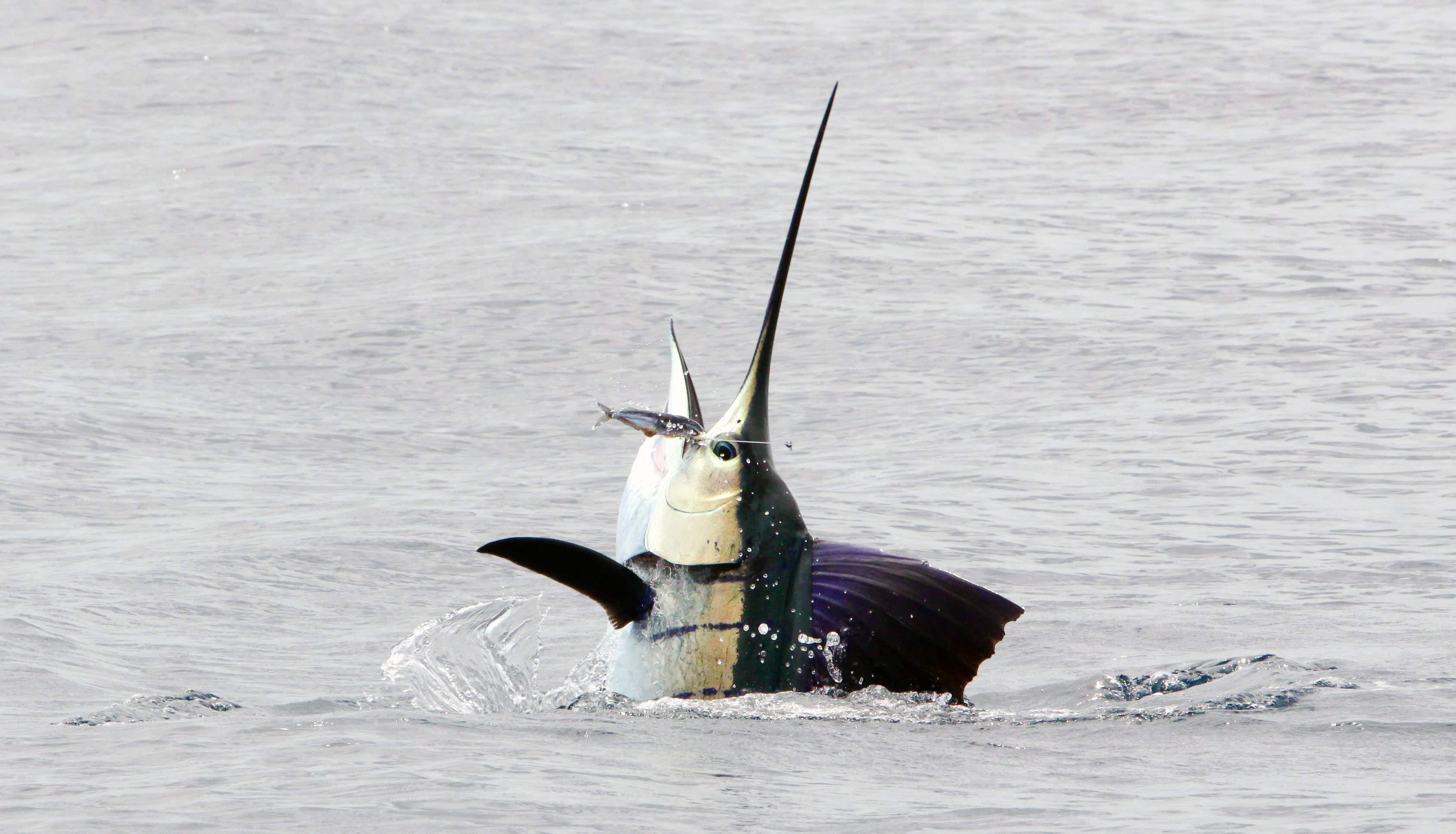 Pelagic Gear Species Profile Sailfish 8