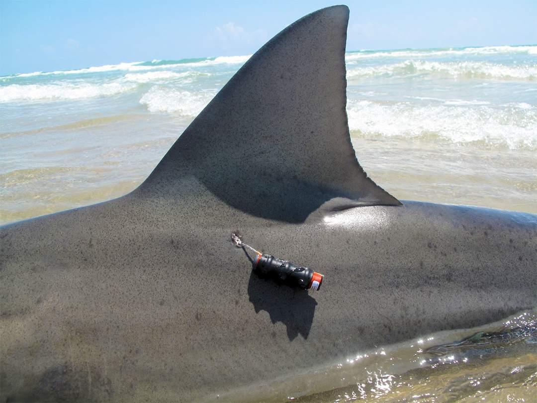 acoustic shark tag