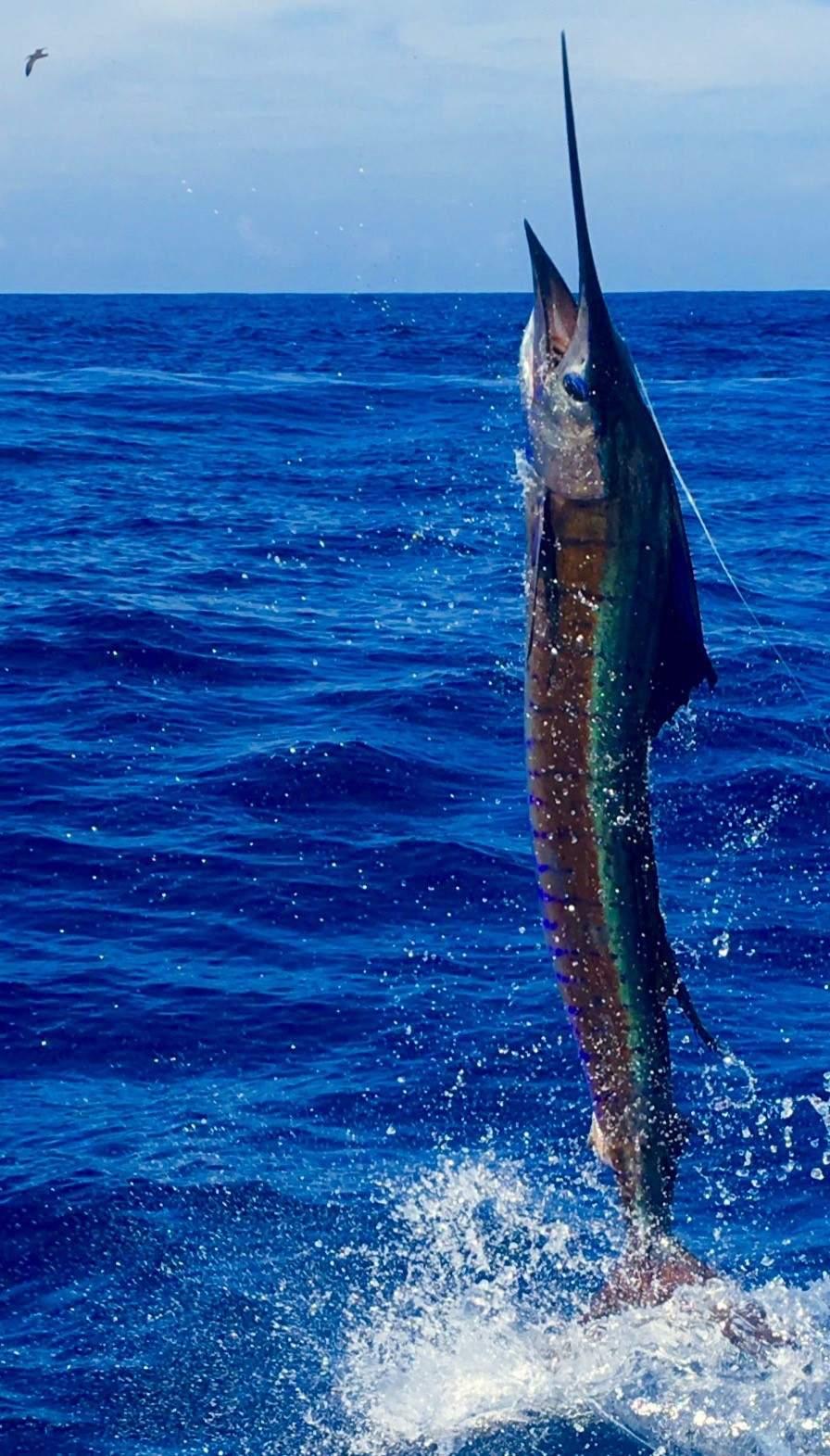 Capt Brad Philipps 2016 Record Billfish Releases 2
