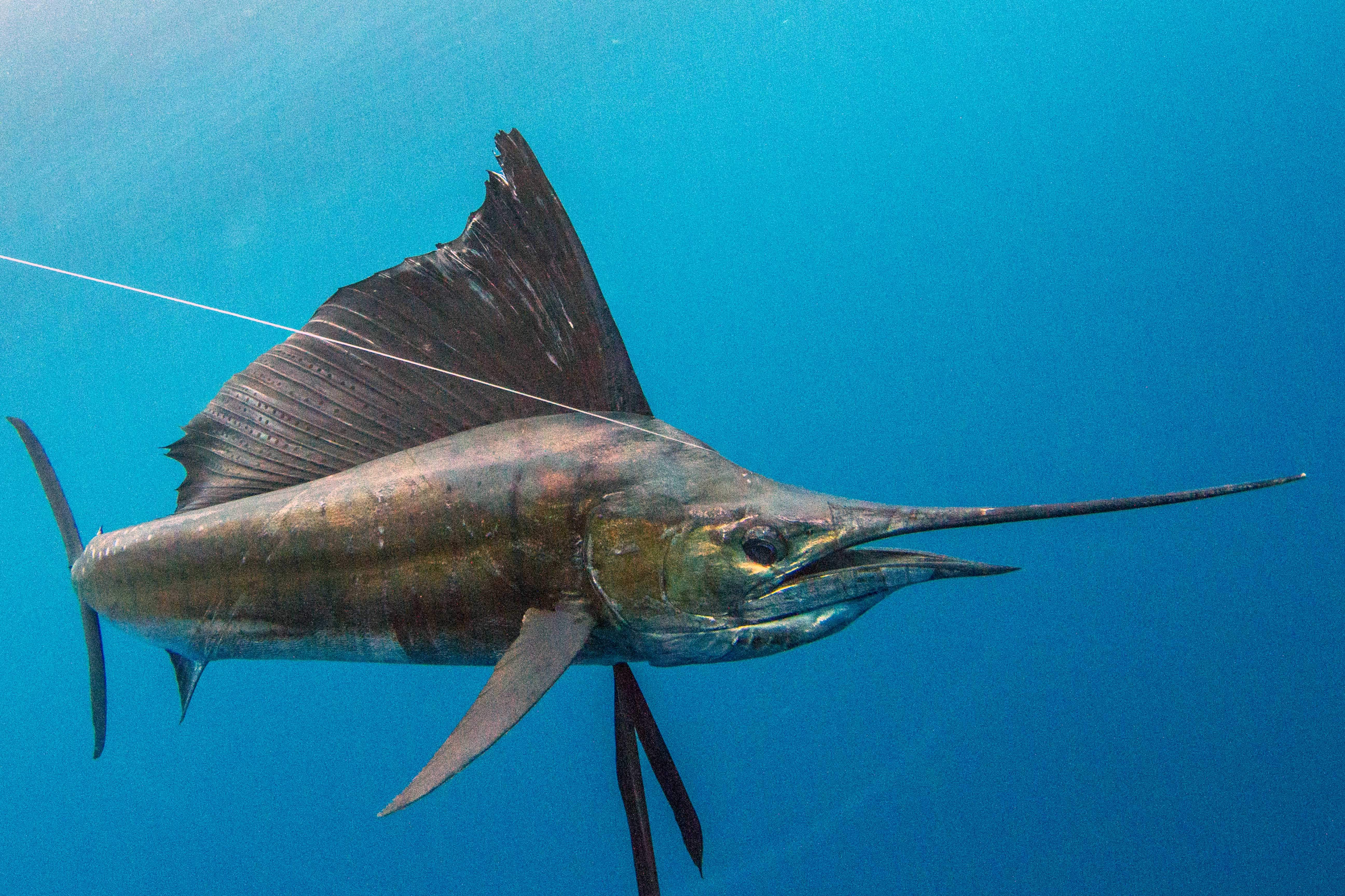 Pelagic Gear Species Profile Sailfish 1