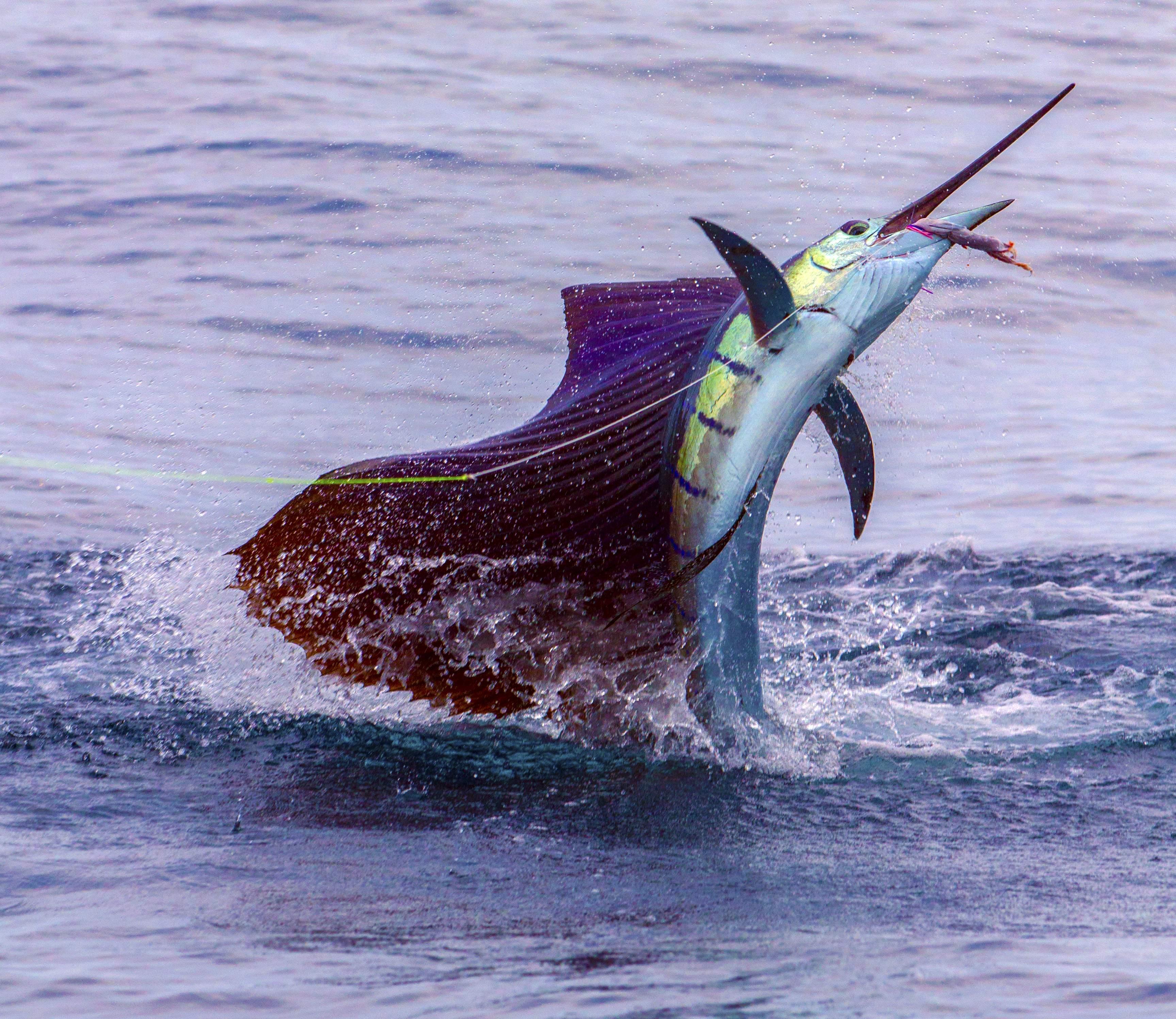 Pelagic Gear Species Profile Sailfish 4