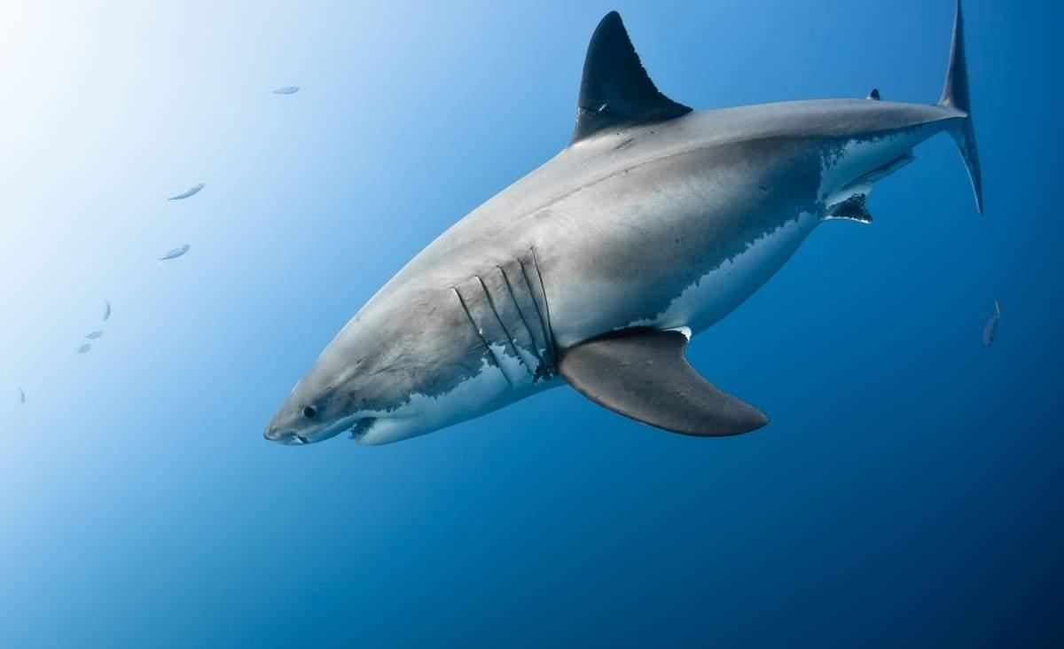 Pelagic Great White Sharks SoCal CSULB 1