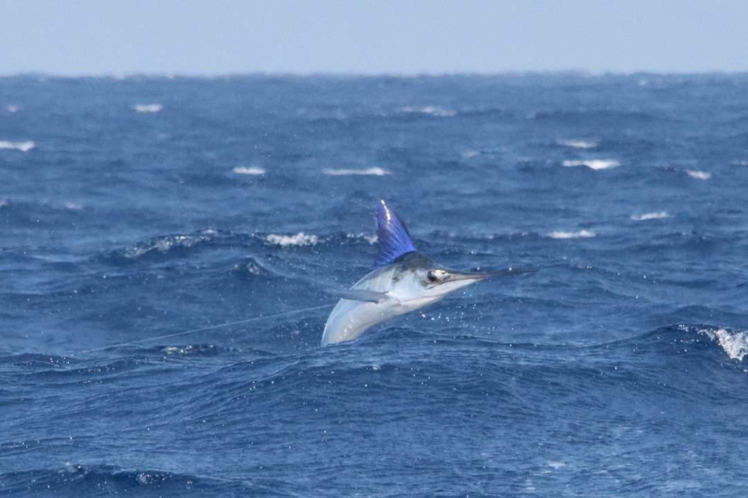 Striped Marlin_2016 Pelagic Cabo Summer Slam