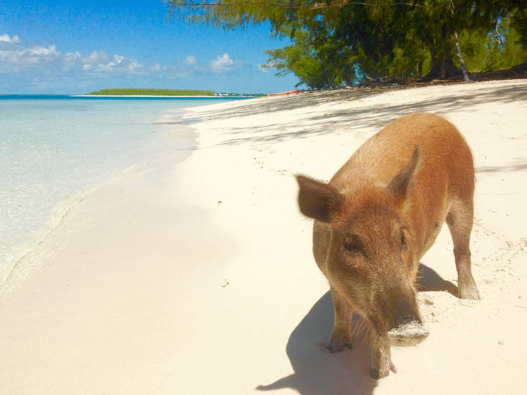 Swimming Pigs_Bahamas_Colin Sarfeh Photo_PELAGIC