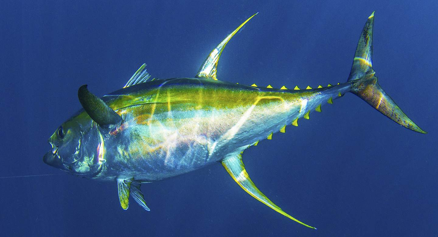 Pelagic New California State Record Yellowfin Tuna 3